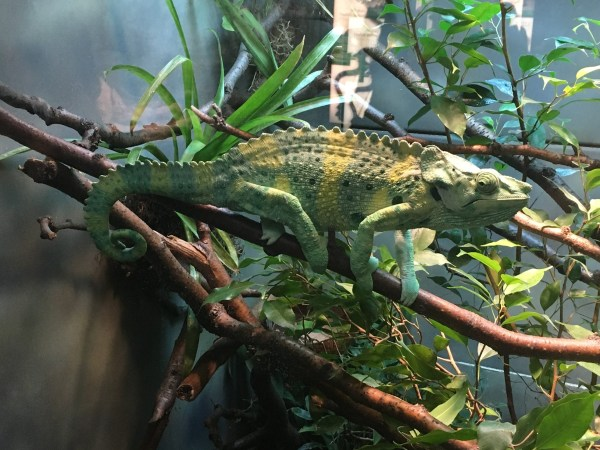 Chicago Zoo Chameleon