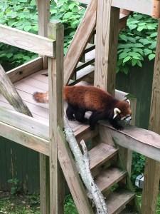 RI Zoo Red Panda