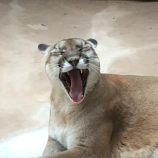 Omaha Mountain Lion