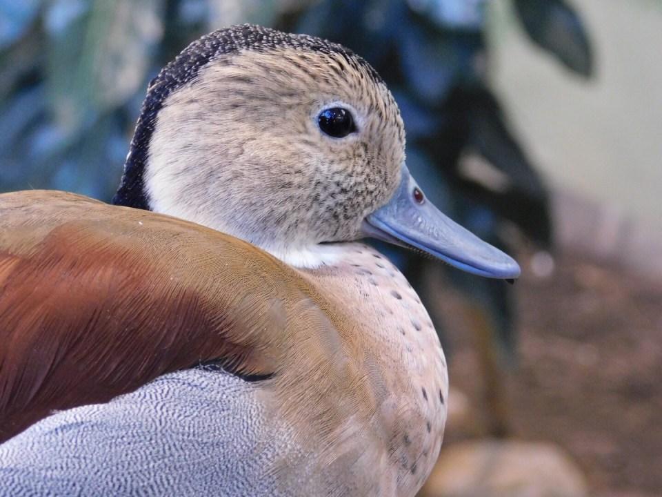 Winter Zoo - Duck