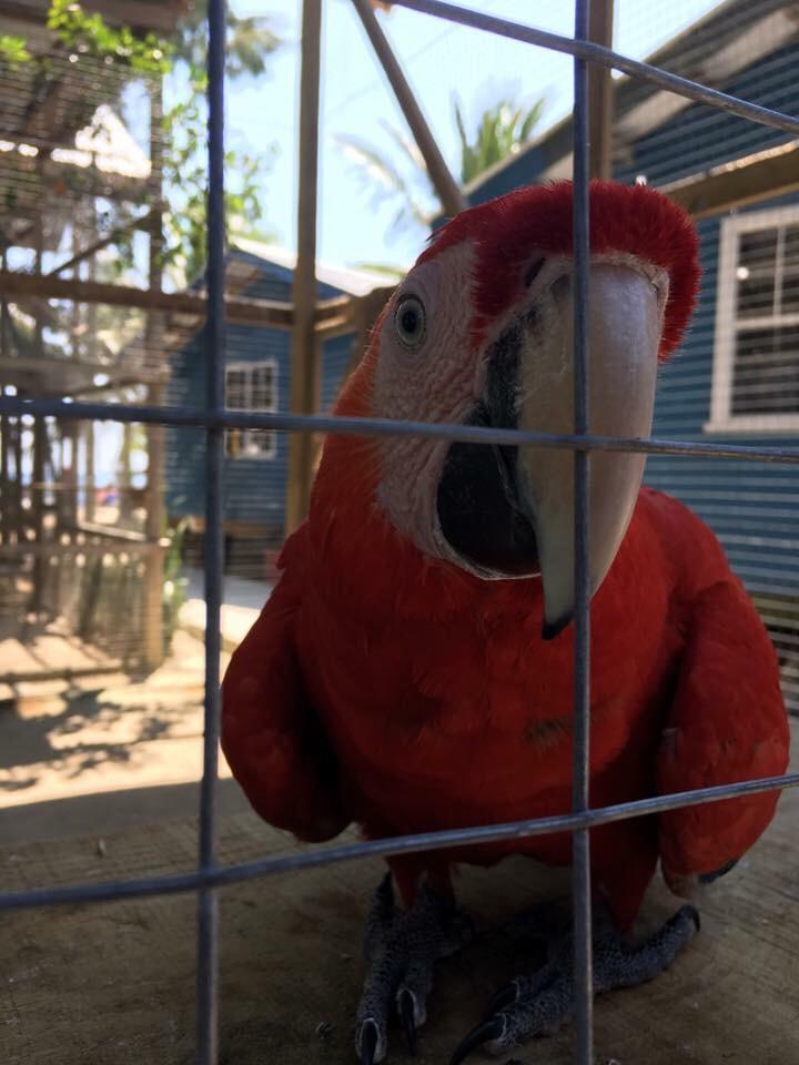 Roatan Bay Macaw