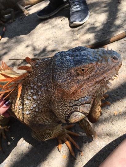 Roatan Bay Iguana 1