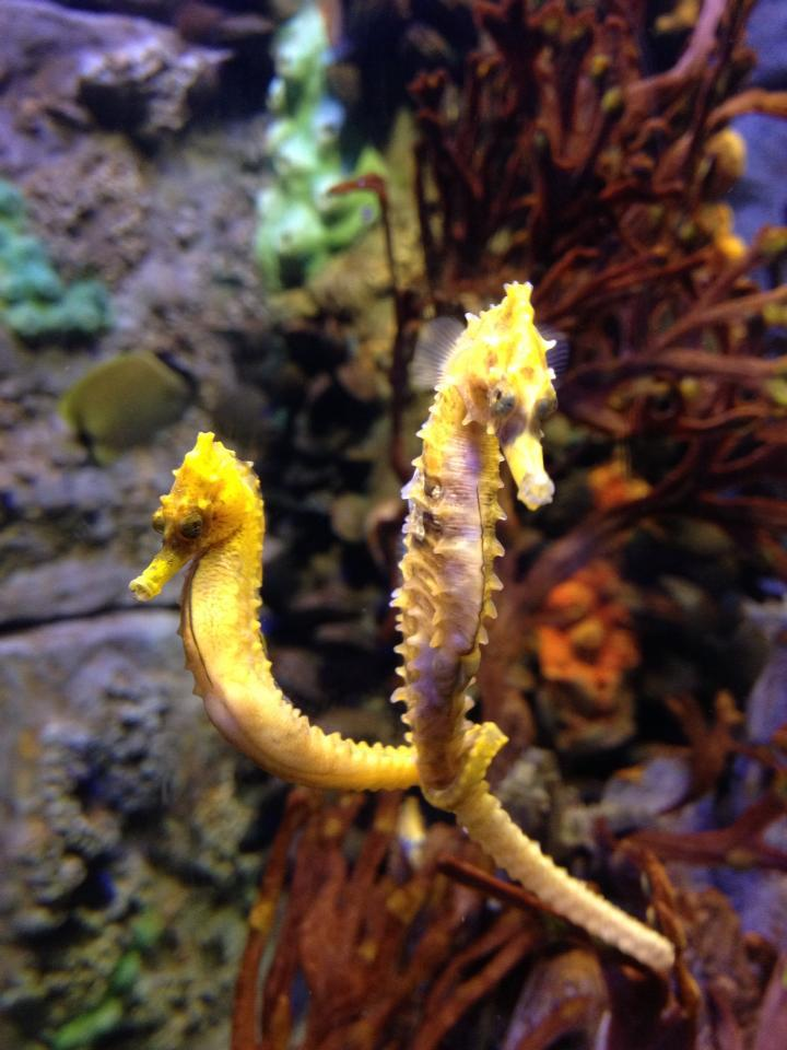 Boston Aquarium Seahorses
