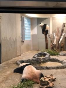 Japan - Ueno Zoo Pandas