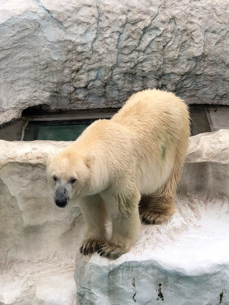 Japan - Ueno Zoo Polar Bear