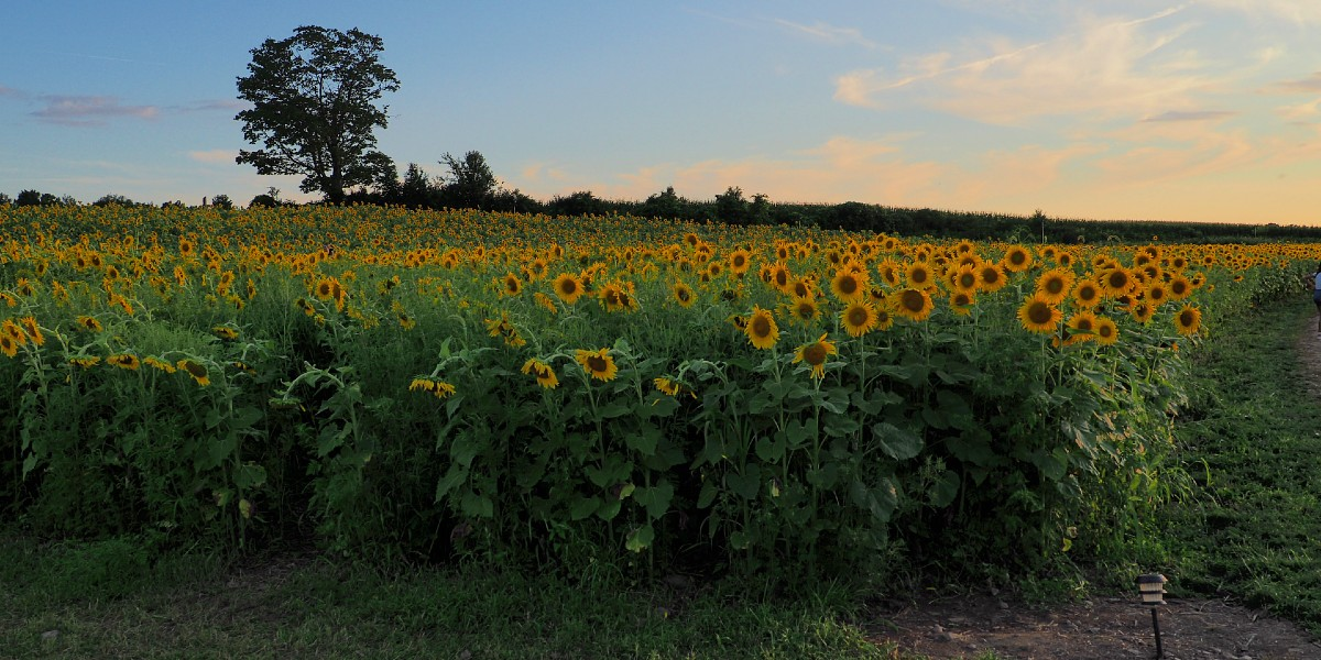 Wagner Farms Sunflower Field