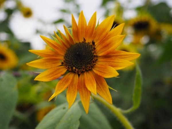 Wickham Farms Sunflower - Rochester New York