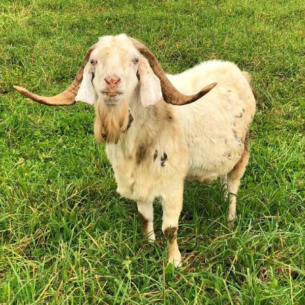 Goat at Jones Family Farm