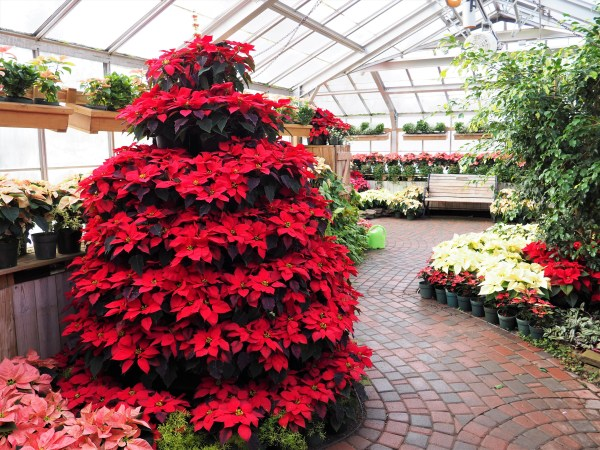Lamberton Conservatory Poinsettia Tree