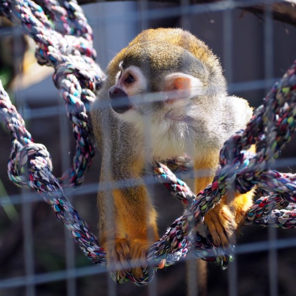 Squirrel Monkey - Animal Adventure Park