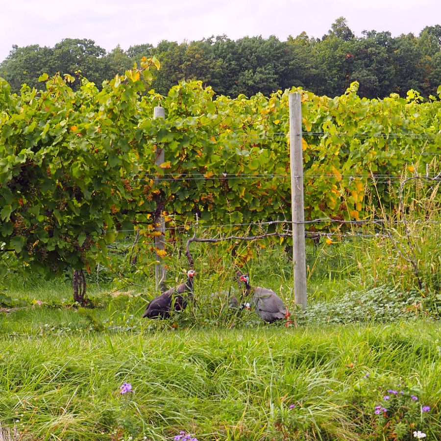 Guinea Hens at Tabora Winery