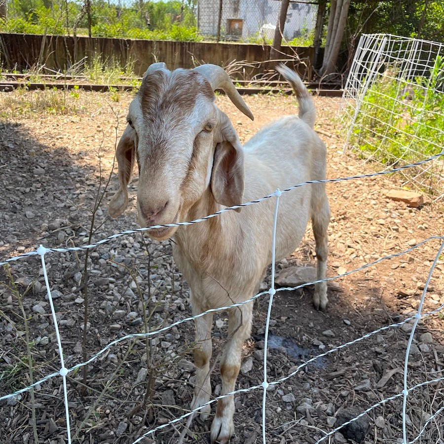 Goat at Camp North End