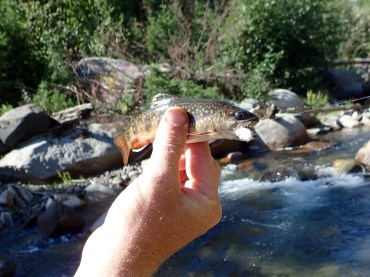 Rainbow and brook trout