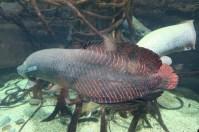 Osaka-Aquarium-Kaiyukan-arwana