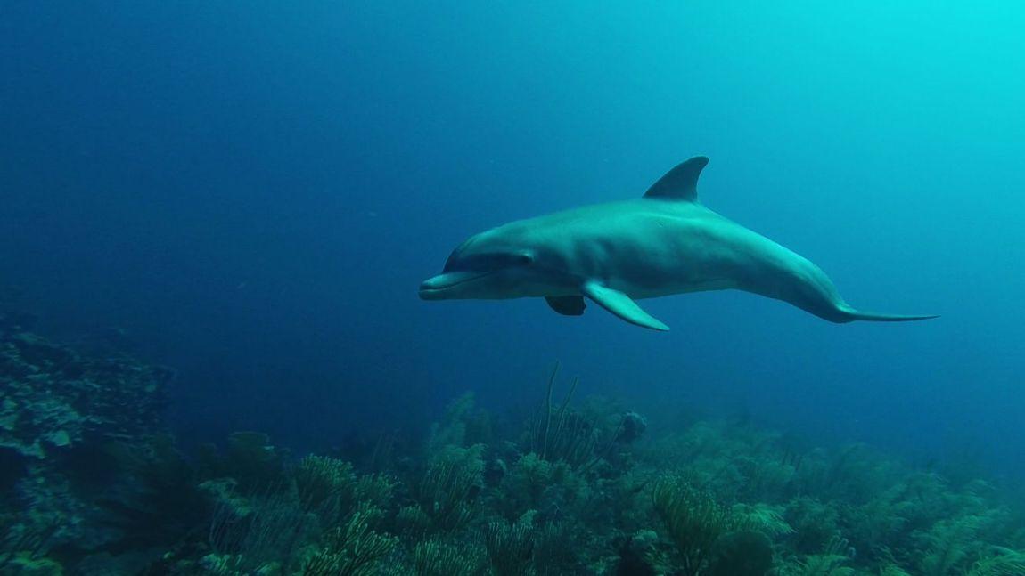 divebelize-dolphin