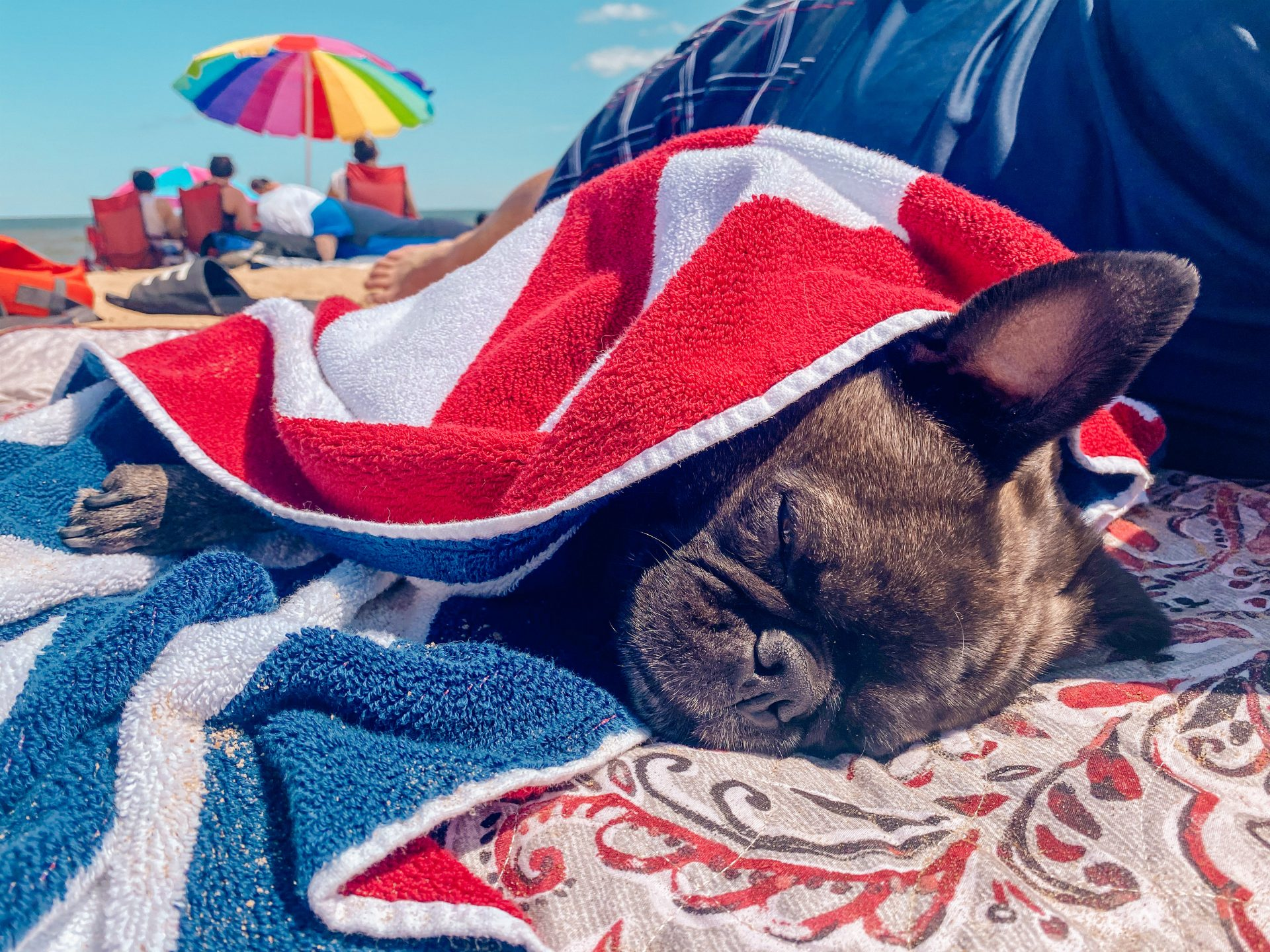 blue skies overhead at the beach with a rainbow colored beach umbrella in the distance close up dog covered up with a beach towel sleeping tired from the ocean and road trip