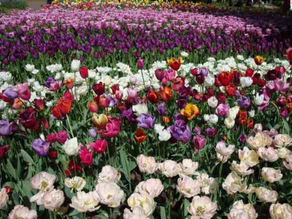 Keukenhof, tulip garden