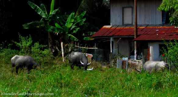 Wild water buffalow - Borneo