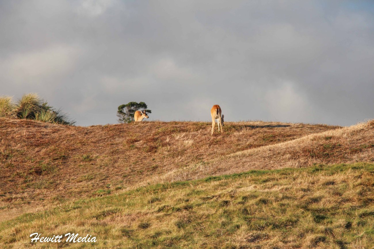 Deer on Bandon Dunes