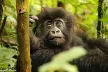 rwanda mountain gorilla baby