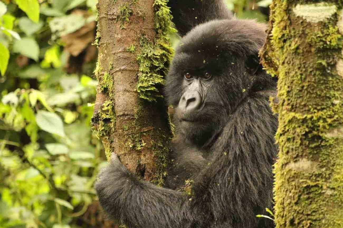 Female Gorilla in the Trees