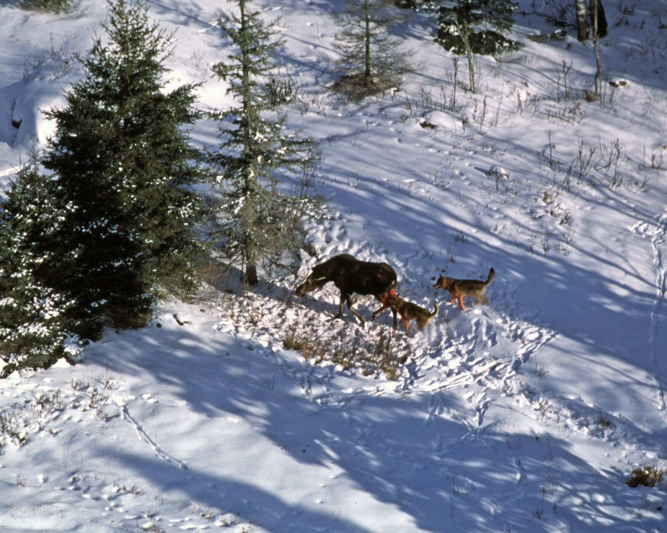 Wolves_attack_moose_2012-04-12_001.jpg