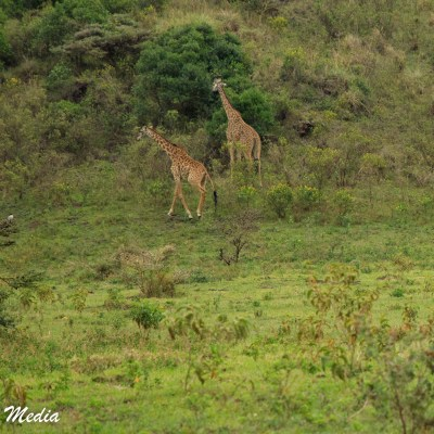 Giraffe feed in Arusha National Park