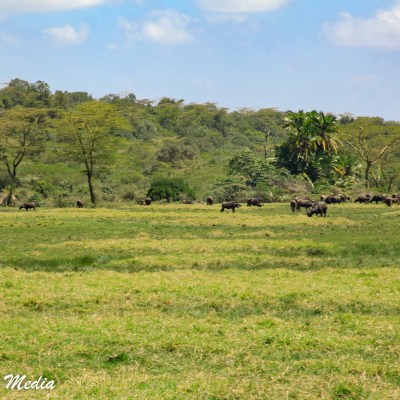 Seeing buffalo while on walking safari
