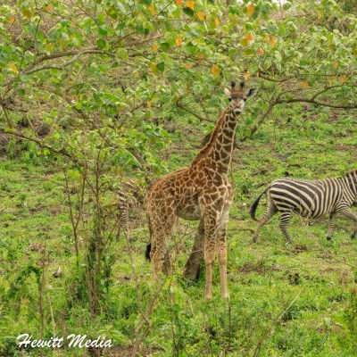 Giraffe and zebra feed inside Arusha National Park