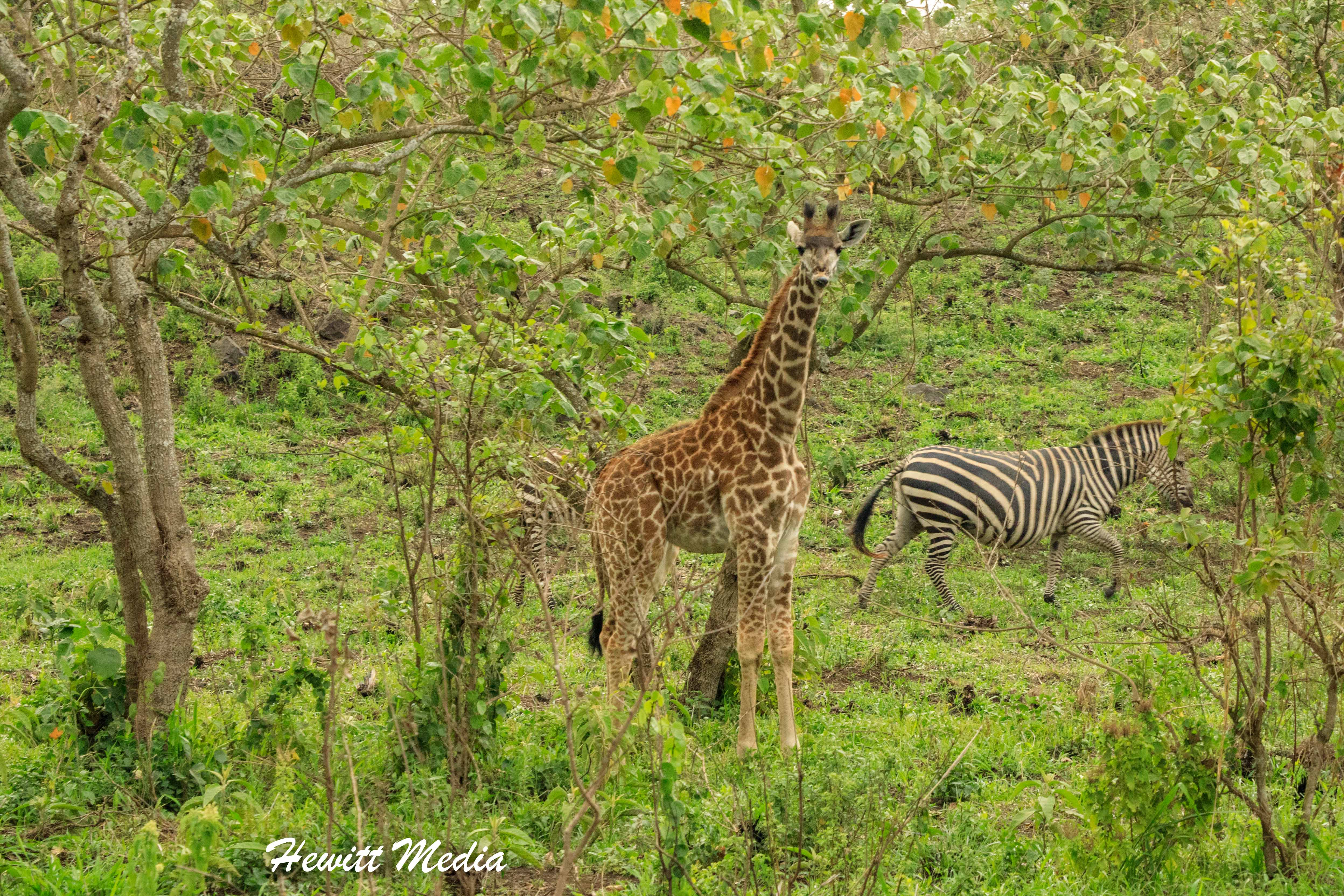 Giraffe and zebra feed inside Arusha National Park