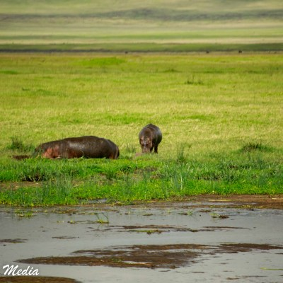 Hippos head back to the water after feeding