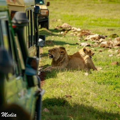 Lions resting in the shade created by vehicles inside the Ngorongoro Crater