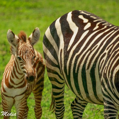A baby zebra sticks by its mother inside the Ngorongoro Crater