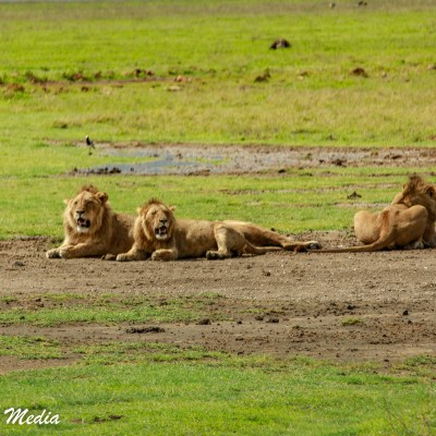 Lions inside the Ngorongoro Crater