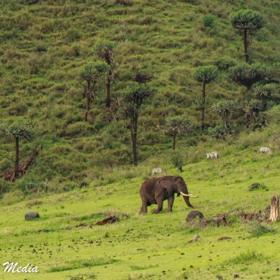 The Ngorongoro Crater is home to many large bull elephants