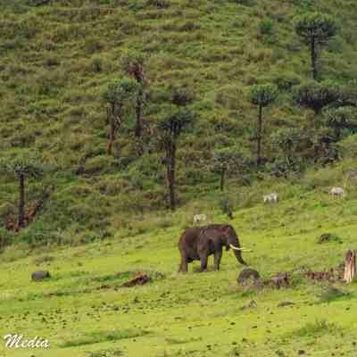The Ngorongoro Crater is home to many large bull elephants