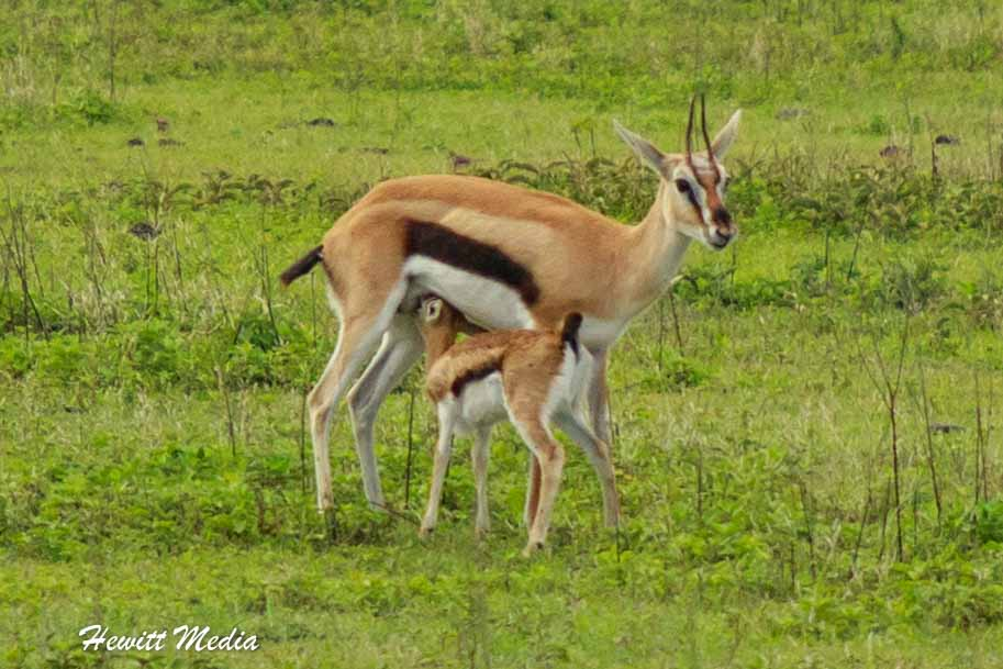 A baby antelope feeding inside the Ngorongoro Crater