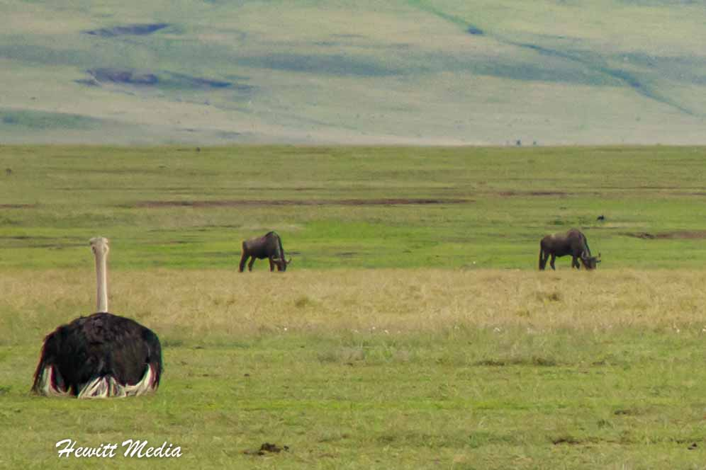 An ostrich takes a break from the heat inside the Ngorongoro Crater