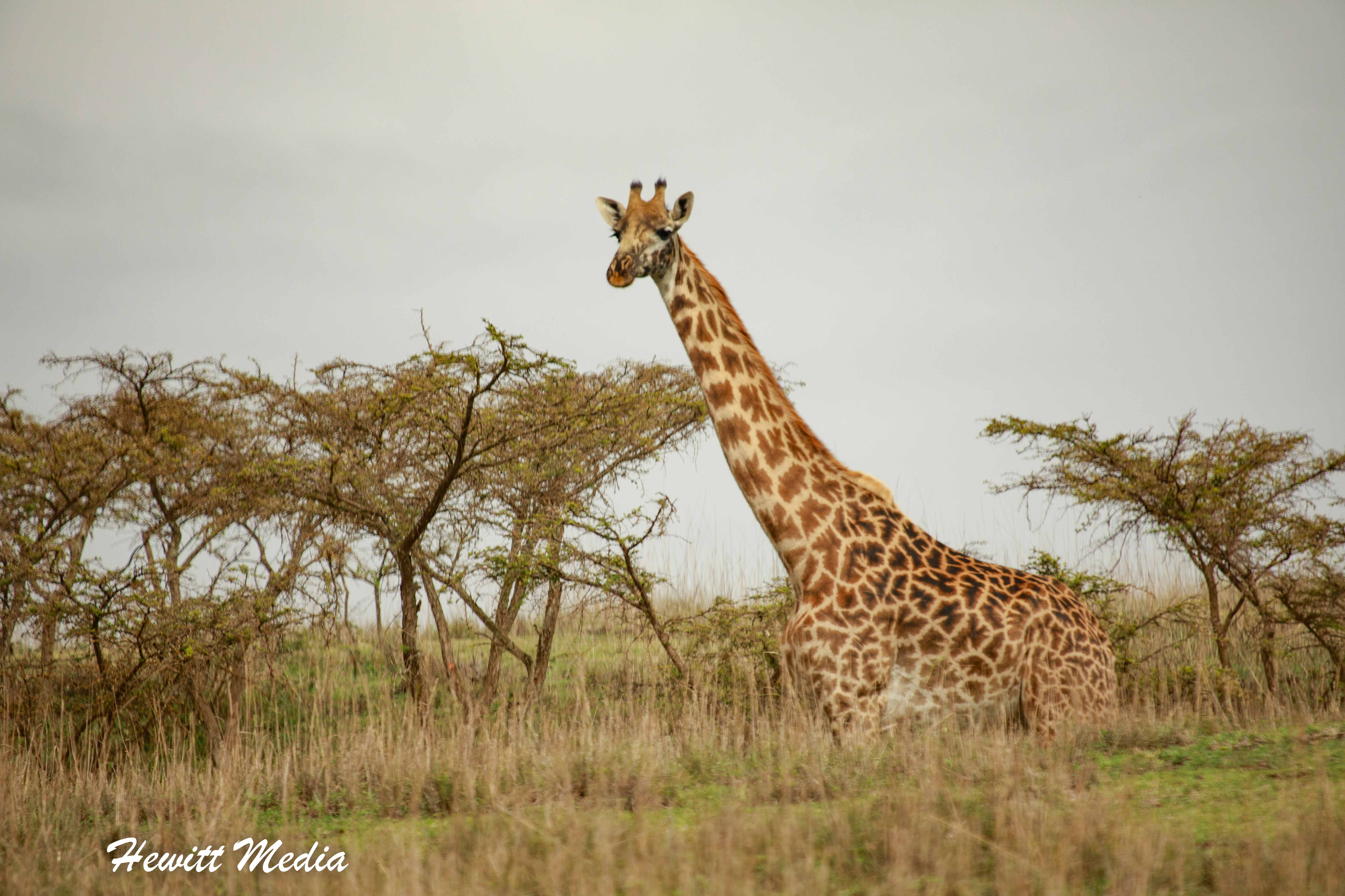 Giraffe in the Serengeti National Park