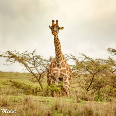 Giraffe stops to check us out in the Serengeti National Park
