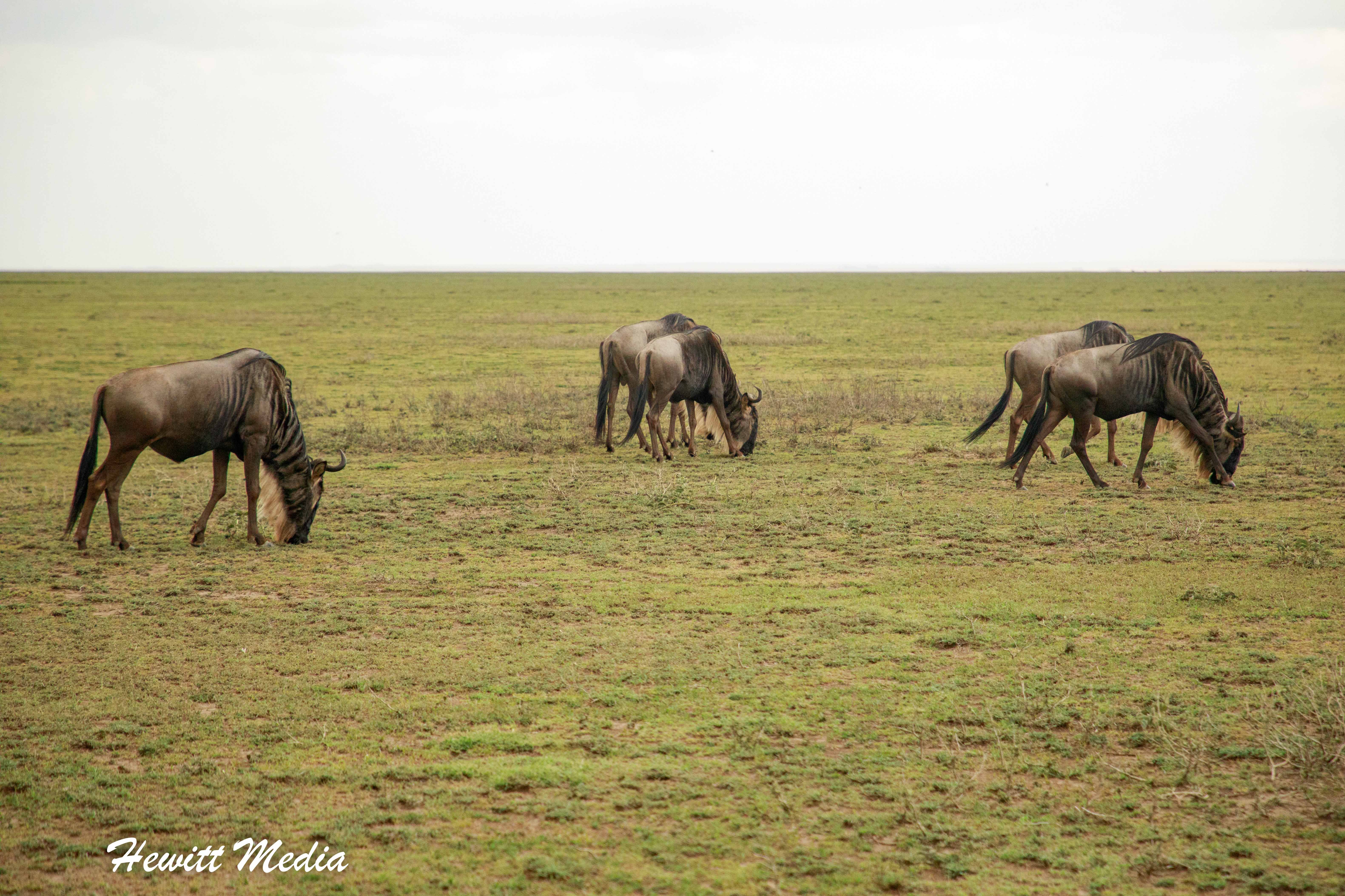 Wildebeest graze in the Serengeti National Park