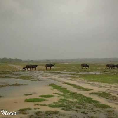 Cape Buffalo in the Serengeti National Park
