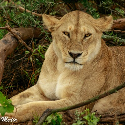 Mother lioness in the Serengeti National Park