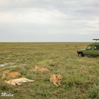 Lions resting in the Serengeti National Park