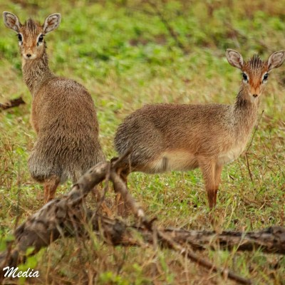 Dik Diks stop to check us out in the Serengeti National Park