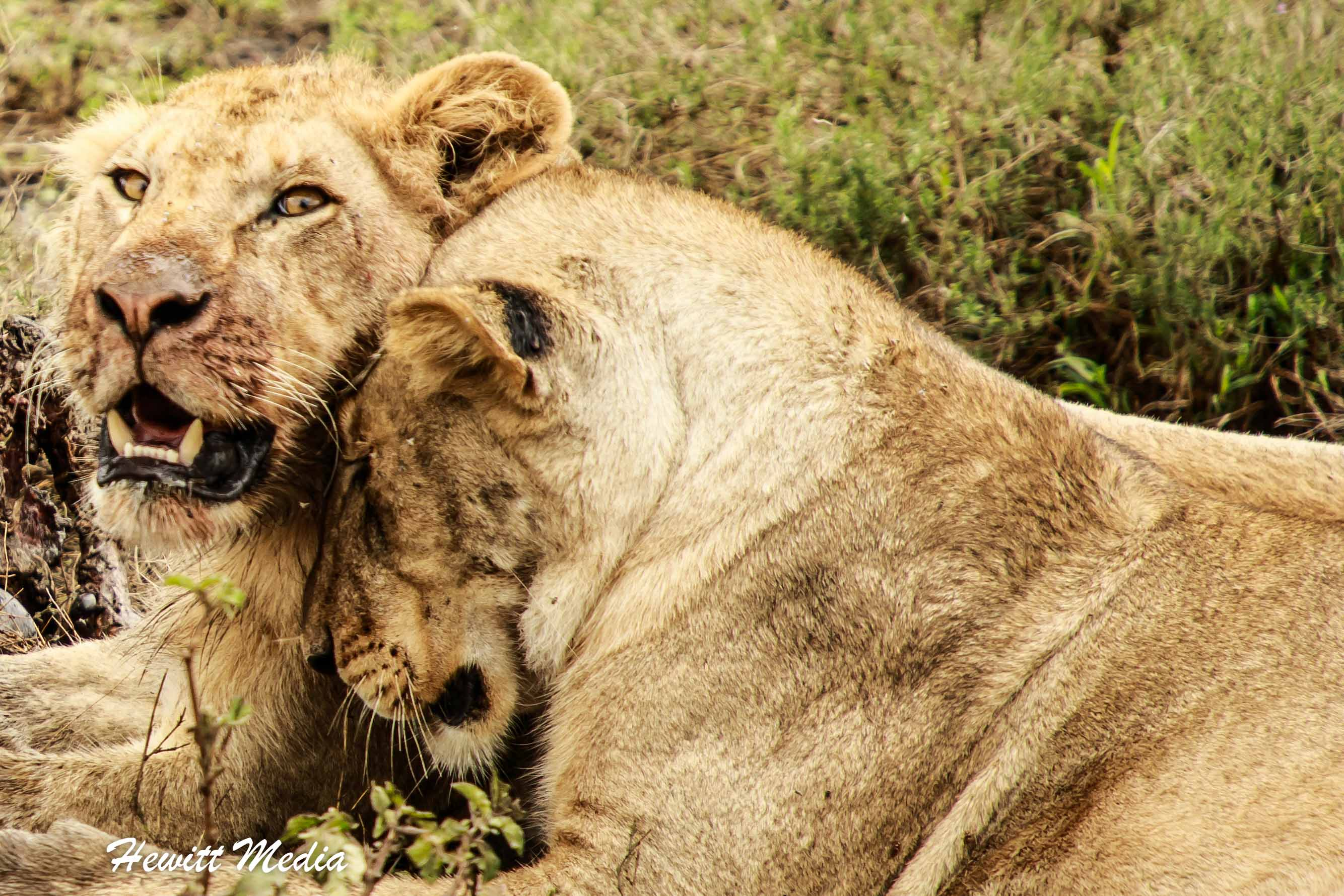 Two lions bonding in the Serengeti National Park