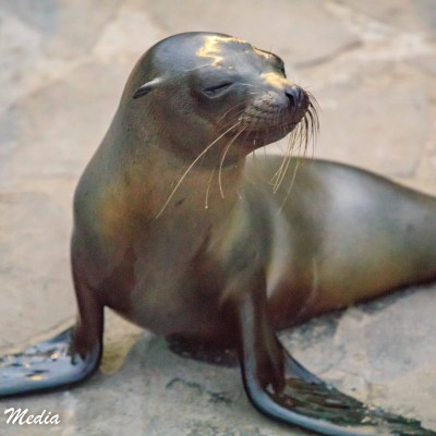 Galápagos Sea Lion pup looks for its mother.