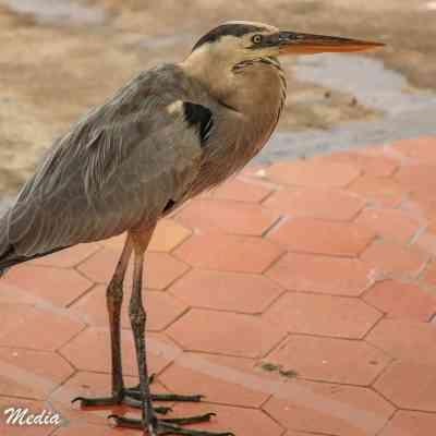 Great Blue Heron waits for fish scraps at the fish market near Puerto Ayora.