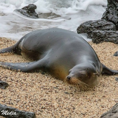 A Galápagos Sea Lion rests on the beach on Santa Cruz Island.