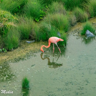 An American Flamingo feeds in a shallow lake on Isabela Island.